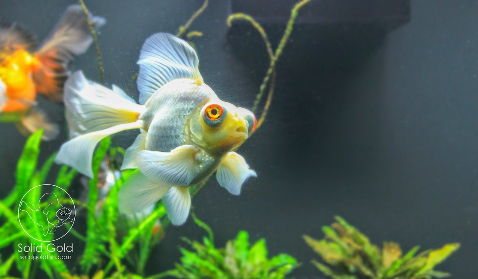 Underwater Camera Captures Hand-Feeding Goldfish