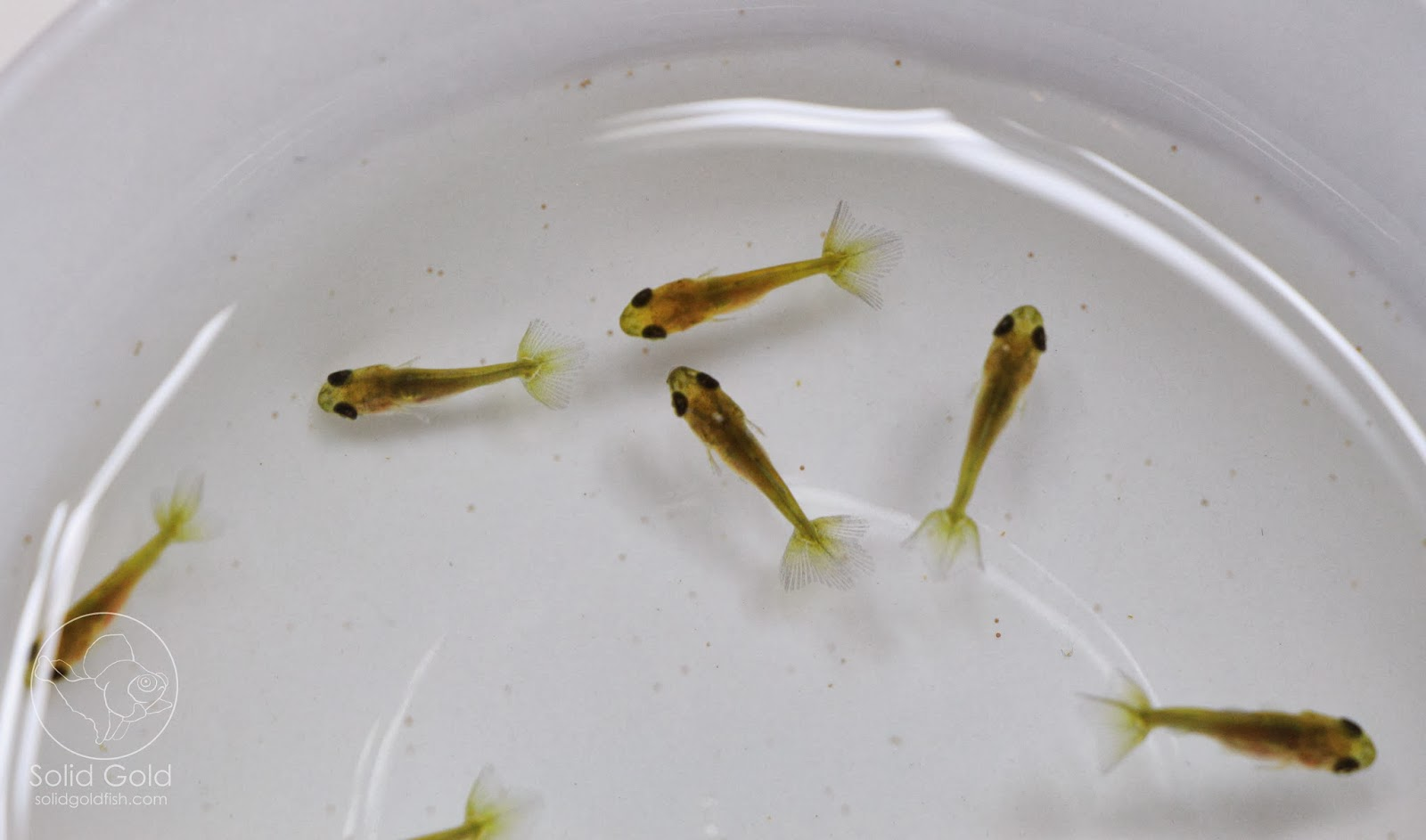 The Reality of Goldfish Breeding…