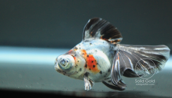 Calico Telescope Goldfish