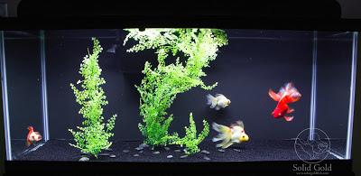 Solid Gold: My Goldfish Feeding Regimen