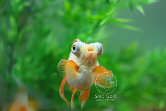 butterfly telescope goldfish