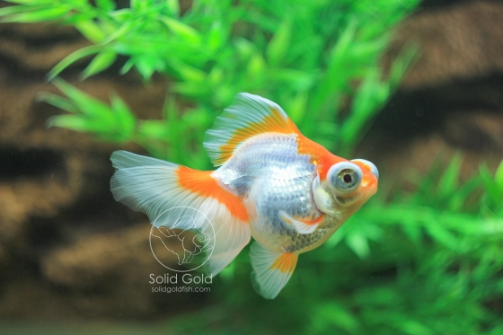 beautiful butterfly telescope goldfish