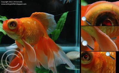 Goldfish Breeding Tubercles