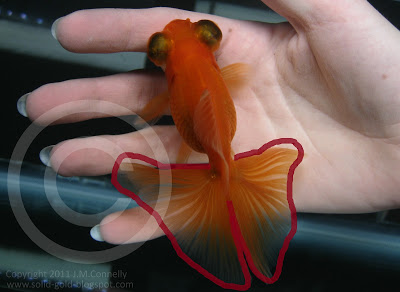 An Introduction to the Butterfly Telescope Goldfish